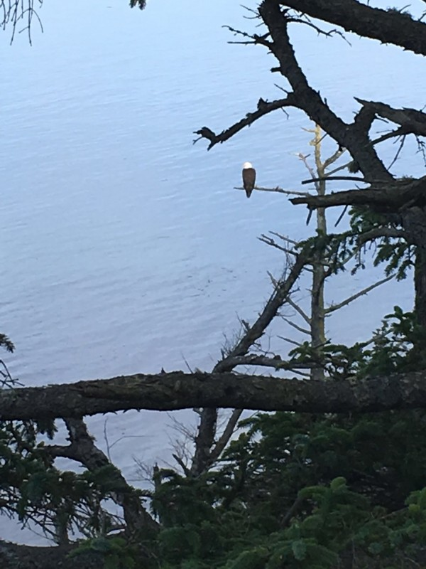 Eagle in a tree near a Bluff viewpoint.