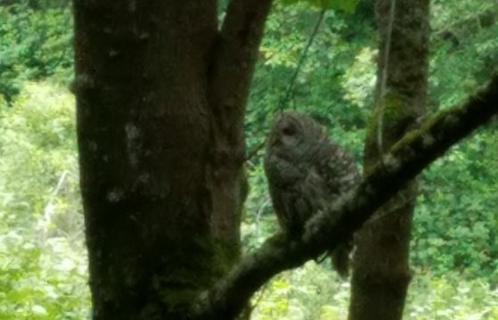 Mommy Owl calling to her youth about 40' away in another tree.